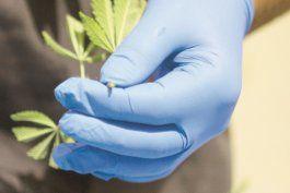 mas facil y economico para los medicos recomendar el cannabis medicinal