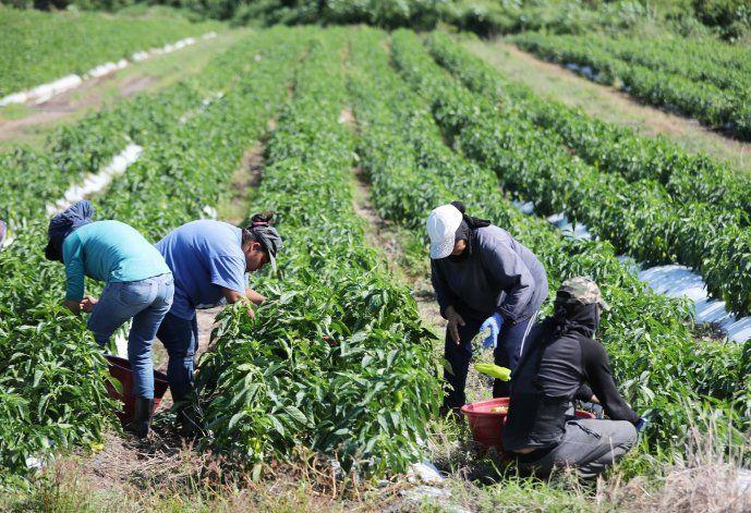 Subsidiarán el 50% del salario mínimo de los trabajadores de la agricultura