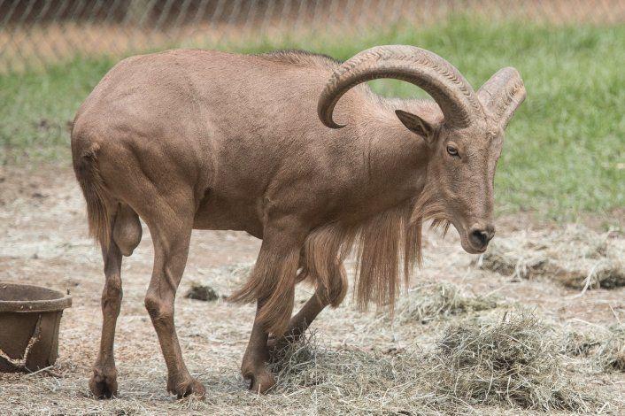Zoológico de Mayagüez: continúa la búsqueda de un arruí que se escapó del parque