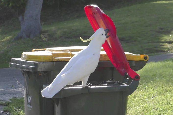 Cacatúas aprenden a levantar las tapas de botes de basura